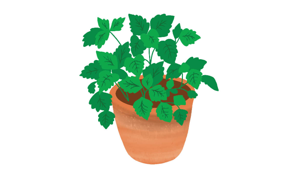 Plants to Grow with Kids - Mint